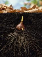 チューリップの発芽と発根