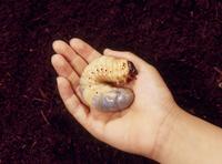 カブトムシの終齢幼虫