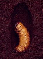 カブトムシの蛹化 19-2