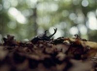 カブトムシ 地上に出た成虫 32098002120| 写真素材・ストックフォト・画像・イラスト素材|アマナイメージズ