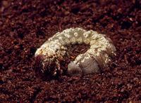 カブトムシ 死んでカビの生えた終齢幼虫