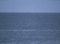洋上のトドの群れ 32099000357| 写真素材・ストックフォト・画像・イラスト素材|アマナイメージズ