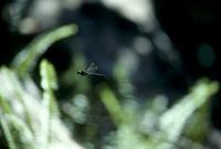 オガサワラトンボ 飛ぶ