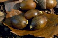 秋に発芽したコナラの実