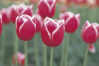 チューリップ 'メリーウィドウレコード'の花