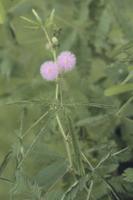 オジギソウ 葉が閉じる 32107000021| 写真素材・ストックフォト・画像・イラスト素材|アマナイメージズ