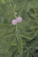 オジギソウ 葉が開く 32107000022| 写真素材・ストックフォト・画像・イラスト素材|アマナイメージズ