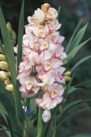 シンビジウム 'プリンセスまさこ'の花