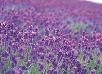 ラベンダーの花畑