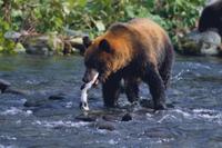 カラフトマスを捕食するエゾヒグマ 32109000218| 写真素材・ストックフォト・画像・イラスト素材|アマナイメージズ