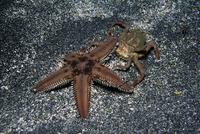 トゲモミジガイを背負うキメンガニ 連続3/6 32111000391| 写真素材・ストックフォト・画像・イラスト素材|アマナイメージズ