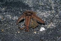 トゲモミジガイを背負うキメンガニ 連続6/6 32111000394| 写真素材・ストックフォト・画像・イラスト素材|アマナイメージズ