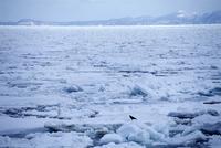 羅臼の流氷