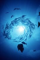 ギンガメアジの回転遊泳