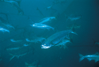 漁網の中のサケ 32111000613| 写真素材・ストックフォト・画像・イラスト素材|アマナイメージズ