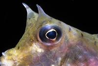 ウミスズメの目