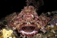 口を開けるオニカサゴの正面顔 32111000670| 写真素材・ストックフォト・画像・イラスト素材|アマナイメージズ