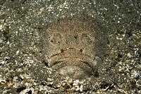 キビレミシマの正面顔 32111000685| 写真素材・ストックフォト・画像・イラスト素材|アマナイメージズ