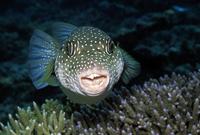 サザナミフグの正面顔