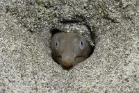 ダイナンウミヘビの正面顔