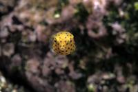 ミナミハコフグの幼魚の正面顔
