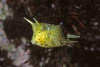 コンゴウフグの幼魚