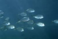 ギンガメアジの幼魚の群れ