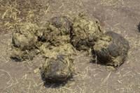 アフリカゾウ メス チーキの糞
