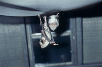 ナミチスイコウモリ 32113001963| 写真素材・ストックフォト・画像・イラスト素材|アマナイメージズ