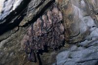 キクガシラコウモリ