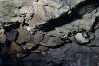 キクガシラコウモリ(左)とコキクガシラコウモリ