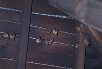 ウサギコウモリの集団
