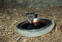 給餌器で採餌するチスイコウモリ 32113001989| 写真素材・ストックフォト・画像・イラスト素材|アマナイメージズ