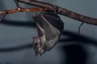 ルーセットオオコウモリ