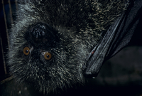 オガサワラオオコウモリのオスの顔 32113002109| 写真素材・ストックフォト・画像・イラスト素材|アマナイメージズ
