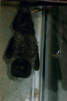 オガサワラオオコウモリ  32113002110| 写真素材・ストックフォト・画像・イラスト素材|アマナイメージズ