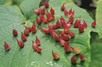 ヤマブドウの虫こぶ