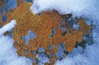 地衣類:クサントリア・エレガンス 32117000082| 写真素材・ストックフォト・画像・イラスト素材|アマナイメージズ