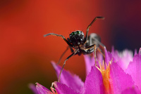 花の上 アリグモのオス