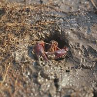 巣穴で越冬するアメリカザリガニ