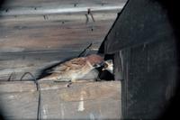 巣のヒナに給餌する親スズメ