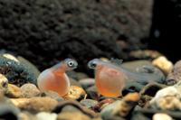 サケの孵化
