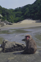 海岸に座るニホンザル
