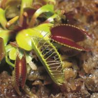 ハエトリソウ(ハエジゴク)の捕虫連続 3/3 32118000365| 写真素材・ストックフォト・画像・イラスト素材|アマナイメージズ