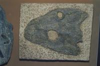 イクチオステガ(最古の両生類)化石(デボン紀)