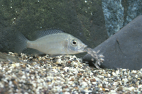 稚魚を口から吐き出すハプロクロミス・ラブリデンスのメス(販売