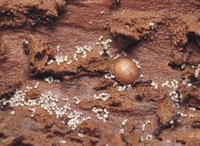 トビイロケアリの巣内の幼虫部屋にいるアリスアブの幼虫