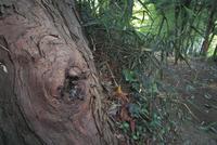 ニホンミツバチのスギ根際の樹洞巣口:オス蜂が出入りする