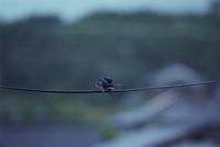 雨の日に電線にとまって羽づくろいツバメ