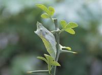 アゲハ(ナミアゲハ)春型の羽化1/4:蛹 32123000212| 写真素材・ストックフォト・画像・イラスト素材|アマナイメージズ